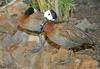 Birds and Crocs - White-faced Whistling Duck (Dendrocygna viduata)