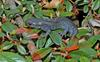 Jefferson Salamander (Ambystoma jeffersonianum)