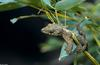 Flying Gecko - Flying Gecko (ptychozoon kuhli)007