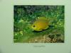 Yellow Chromis