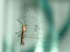 Crane fly (unidentified)