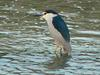 Black-crowned night heron (해오라기)