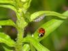 Unknown caterpillar and a seven-spot ladybug