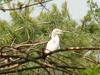Little egret on pine tree
