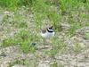 Little ringed plovers