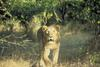 Public domain Asiatic Lion image from USFWS