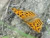 Asian Comma Butterfly (네발나비)