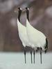 POSTCARD: Red-crowned cranes