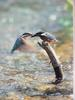 POSTCARD: Common Kingfisher