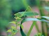 POSTCARD: Japanese Broadwinged Katydid (베짱이붙이)