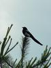 Black-billed Magpie (까치)