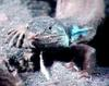 Unknown lizard from Spain - TV capture