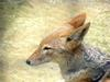 Black-backed Jackal (Daejeon Zooland)