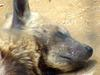 Striped Hyena sleeping (Daejeon Zooland)