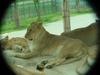African Lions (Daejeon Zooland)