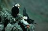 Horned Puffin Pair on Rocks