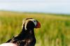 Tufted Puffin in hand