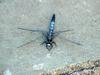 Dragonfly (Lyriothemis pachygastra - not sure)