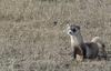 Black-footed Ferret (Mustela nigripes)