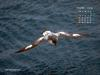 KOPRI Calendar 2004.10: Cape Petrel (Daption capense) in flight
