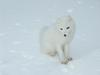 [Arctic Animals] Arctic Fox (Alopex lagopus) - white phase