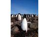 [Antarctic Animals] Adelie Penguins (Pygoscelis adeliae)