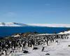 [Antarctic Animals] Adelie Penguins (Pygoscelis adeliae) colony