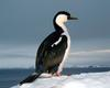 [Antarctic Animals] Blue-eyed Shag (Phalacrocorax atriceps)