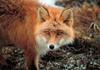 American Red Fox (Vulpes vulpes) at Cape Newenham