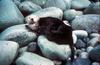 Sea Otter (Enhydra lutris) on large pebbles