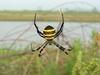 Far Eastern black-and-yellow garden spider (Argiope amoena)