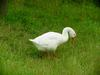 중국거위 Anser cygnoides (Swan Goose grazing on grass)