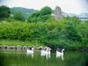 중국거위 Anser cygnoides (Swan Geese swimming in pond)