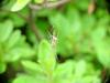Long-jawed Spider (Tetragnatha maxillosa) - not sure for the identification