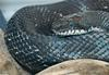 misc. critters - Black Rat Snake (Elaphe obsoleta obsoleta).jpg (1/1)