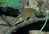 misc. critters - Lesser Tree Shrew (Tupaia minor).jpg (1/1)