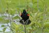 Swamp Walk Critters - red-winged blackbird001.JPG (1/1)
