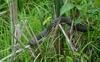 Swamp Walk Critters - northern water snake 004