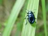 Chinese Chrysochus Leaf Beetle