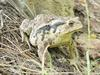 Korean Common Toad (Bufo bufo gargarizans)