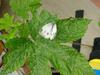 Indian Cabbage White butterfly (Pieris canidia)