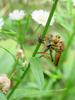 Chinese King Robber Fly (Cophinopoda chinensis)