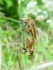Chinese King Robber Fly (Cophinopoda chinensis)  : mating robber flies