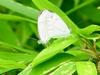 Gray-veined white butterfly (Pieris melete) : mating butterflies