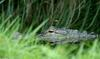 Misc. Critters - American alligator 1.jpg - gator (Alligator mississippiensis)