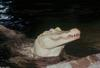 Small American Alligator Flood - albino American alligator9894.jpg