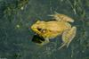 Turtles and Frogs - Green Frog (Rana clamitans melanota)023.JPG
