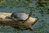 Turtles and Frogs - Eastern Painted Turtle (Chrysemys picta picta)031.JPG