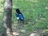 까치 (Pica pica) - Black-billed Magpie
