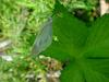 배추흰나비(Artogeia rapae Linnaeus) - Common Cabbage White